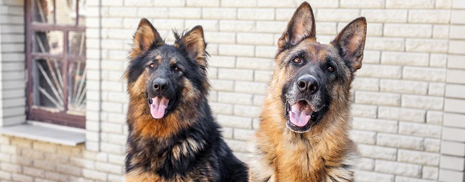Two German Shepherd dog,