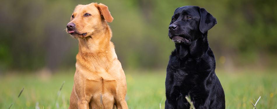 Two Labrador Retriever dogs, yellow and black