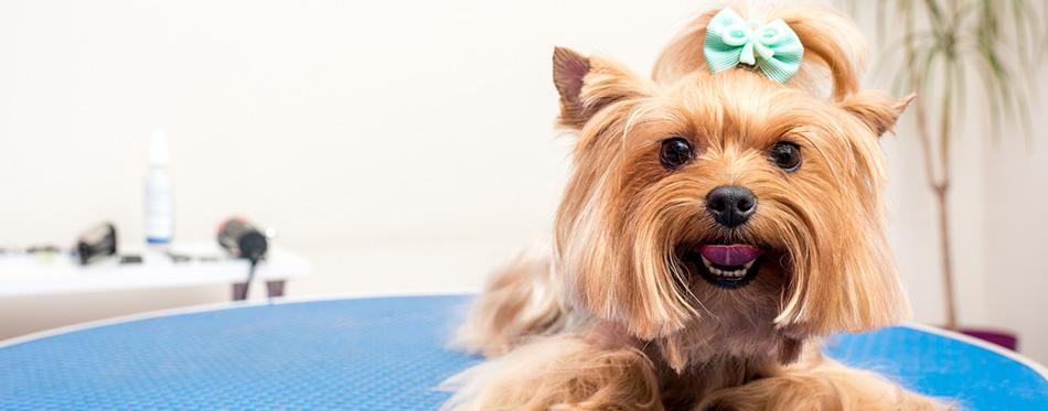 Yorkshire terrier dog in pet salon