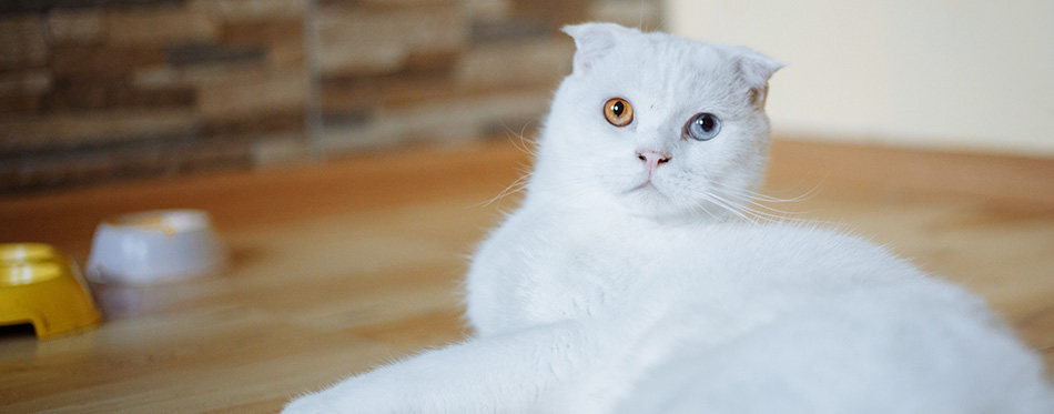 A beautiful white cat with different eyes.