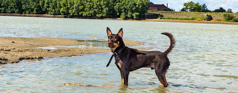 A dog of Australian kelpie breed plays on sand and in a river