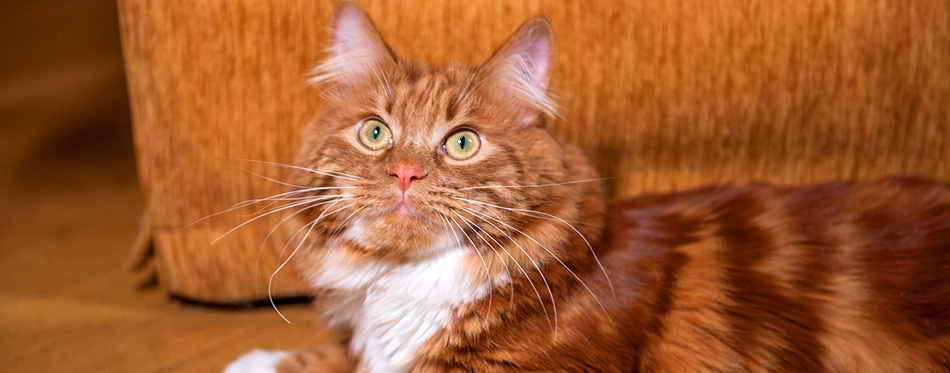 A photo of bobtail cat