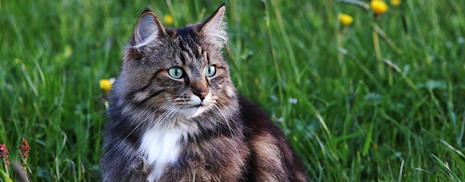 A young Norwegian forest cat is hunting in the evening in the meadow
