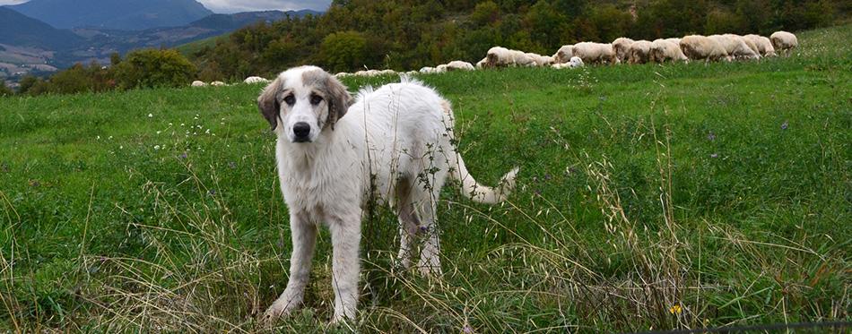 Anatolian sheepdog