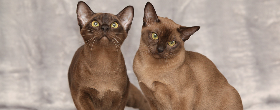 Beautiful Burmese cats in front of silver blanket