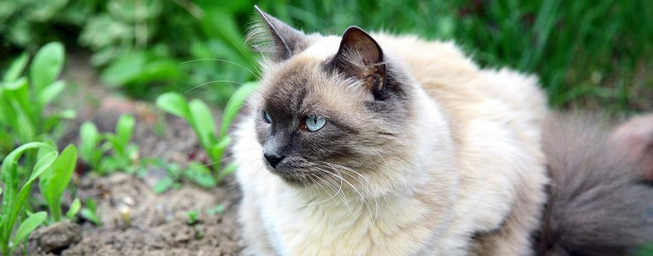 Beautiful balinese cat in the summer garden