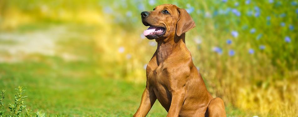 Beautiful rhodesian ridgeback dog puppy in a field