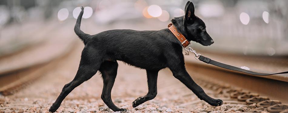 Black mixed breed dog walking on a leash