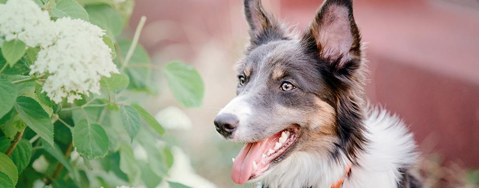 Border collie dog outdoor