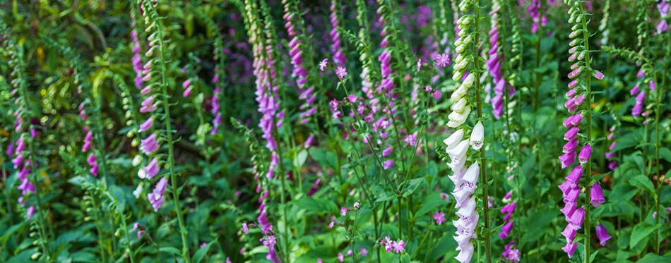 Border of beautiful foxglove flowers