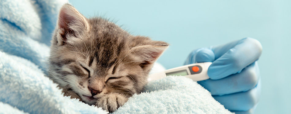 Cat and thermometer
