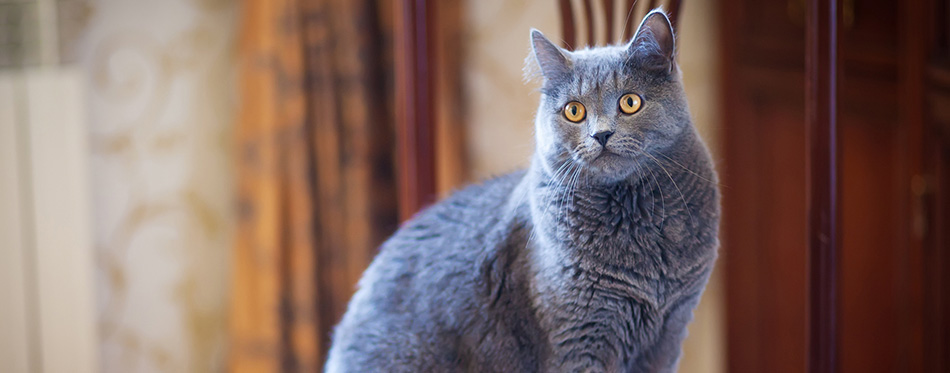 Cat breed British Blue