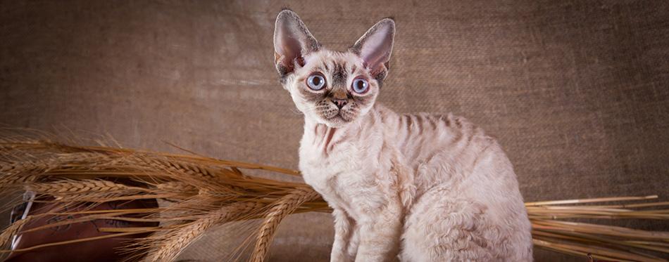 Cat, devon rex, cute, cat