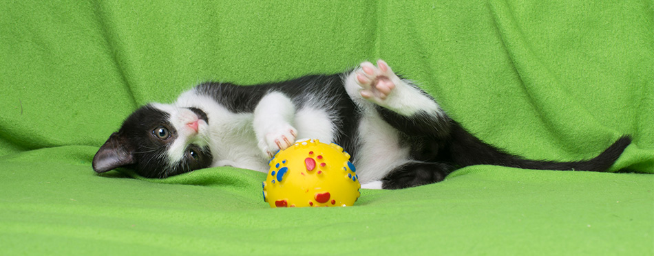Cat playing wit a toy
