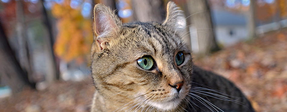 Cute Highlander Lynx Cat Outdoors