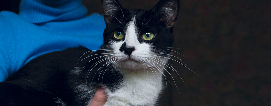 Cute Tuxedo Cat. Cropped Shot Of An Owner And Pet. Animals Day, Pets, Animals Concept. Black Cat. Animal Rescue. Cat.