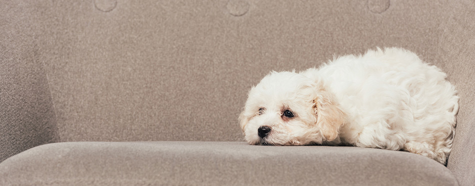 Cute and white Havanese puppy lying on armchair