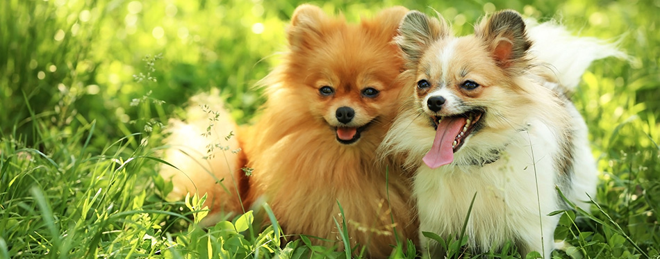 Cute fluffy dogs