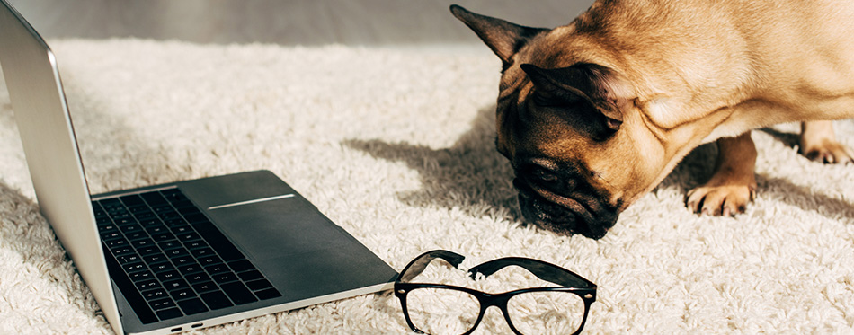 Cute french bulldog smelling carpet near laptop and glasses