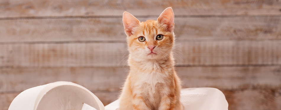 Cute orange tabby kitten sitting on the remains of toilet paper
