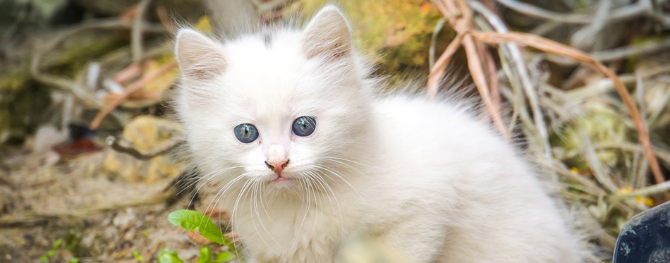 Cute white playful kitten with blue eyes outdoor, turkish angora.