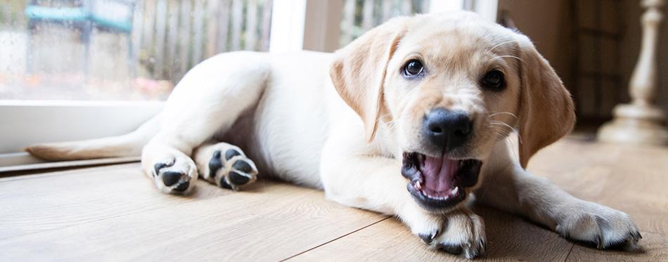 Cute young yellow labrador puppy