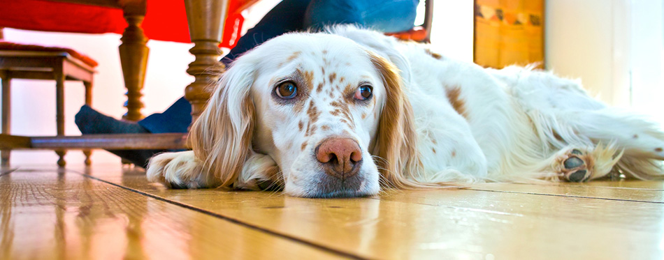 Dog lying at the wooden floor in the dining room