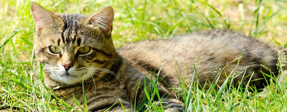 European Shorthair striped cat
