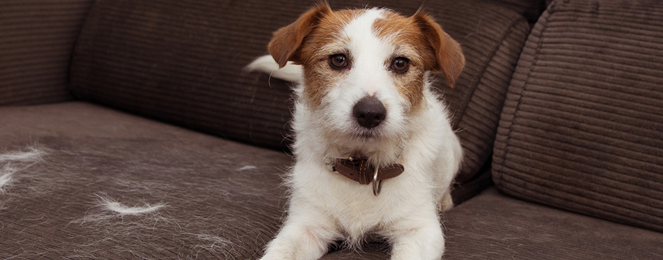 FURRY JACK RUSSELL DOG, SHEDDING HAIR DURING ANNUAL MOLT SEASON