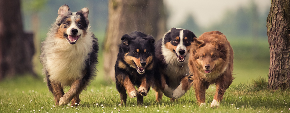 Four Australian Shepherd dogs running on the meadow