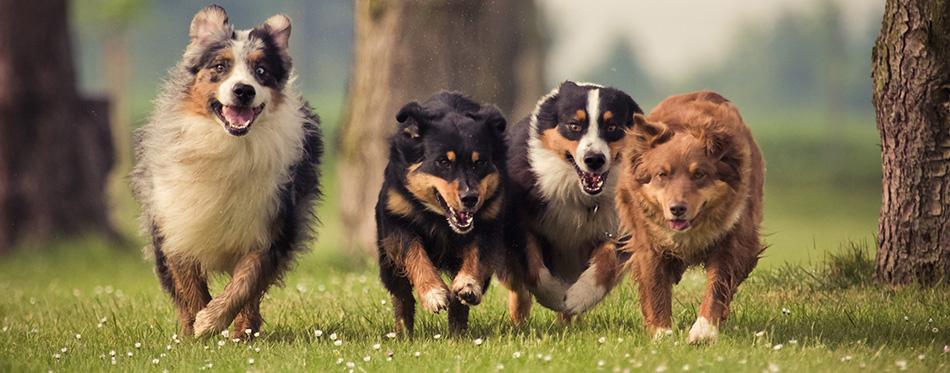 Four Australian Shepherd dogs running