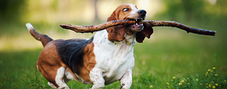 Funny dog Basset hound running with stick