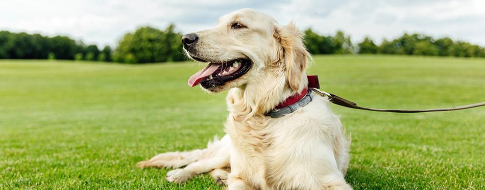 Golden retriever dog on grass
