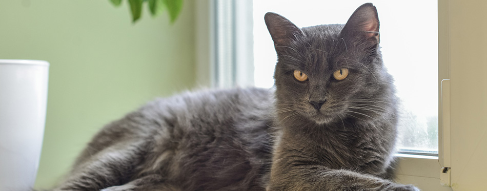 Gray cat Nebelung cat is lying on the windowsill at home.