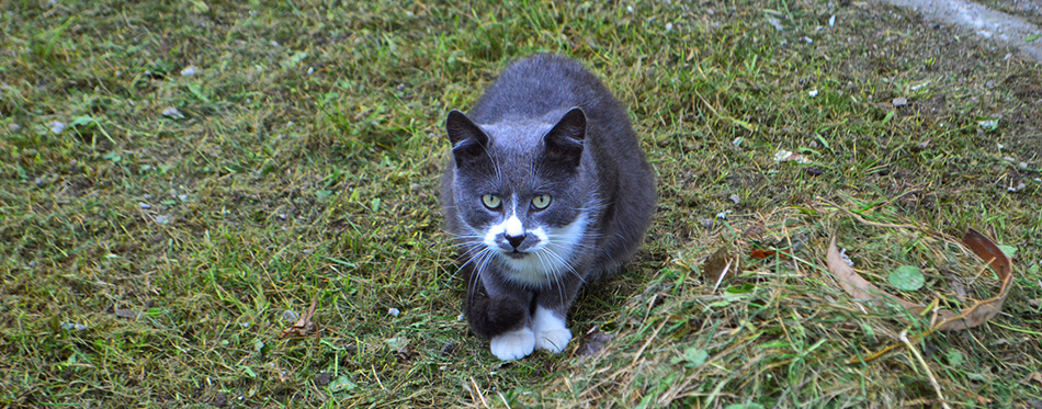 Gray cat on the grass