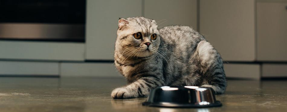 Grey scottish fold cat near bowl on floor in kitchen