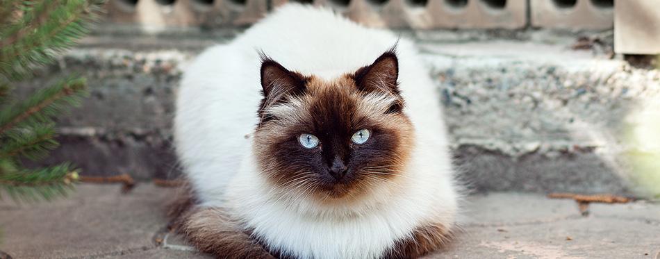 Himalayan Neva masquerade cat.