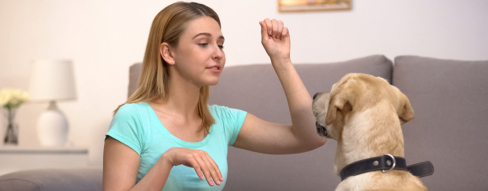 Housepet owner teaching retriever dog performing commands, animal discipline