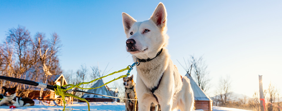 Husky kennel visit in Northern Norway