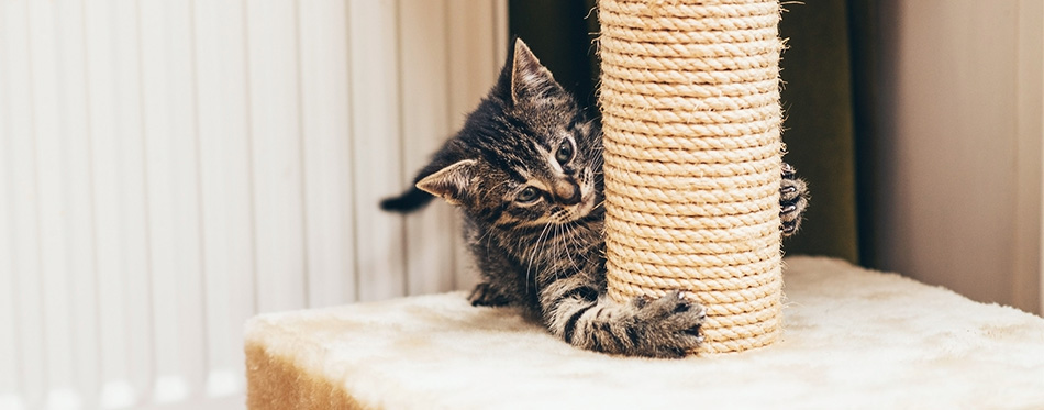 Kitten playing with scratching post