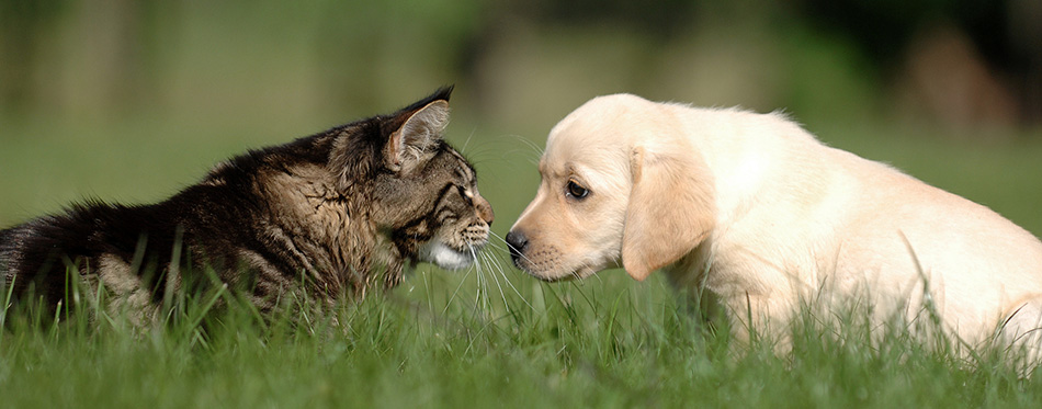 Labrador puppy and cat love and friendship