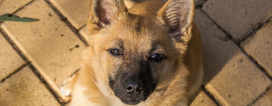 Little Dog Portrait Indy