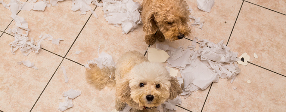 Naughty dog destroyed tissue roll into pieces when home alone