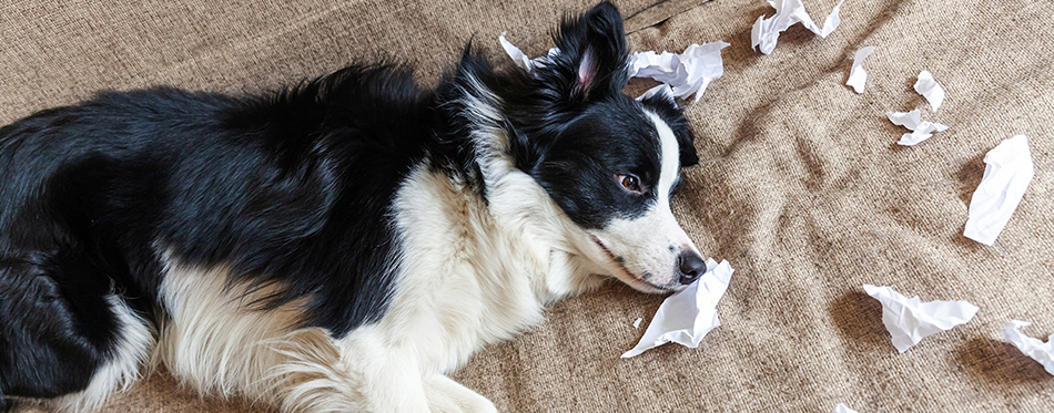 Naughty playful puppy dog border collie after mischief biting toilet paper lying on couch at home. Guilty dog and destroyed living room. Damage messy home and puppy with funny guilty look