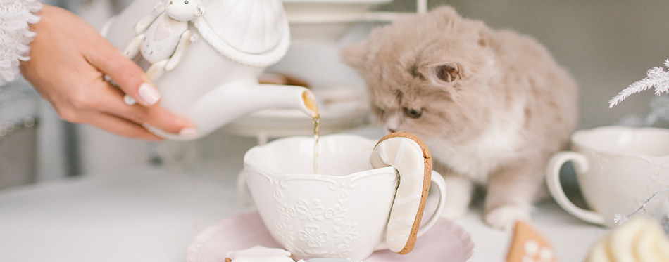 Nice selkirk rex cat looking into tea cup on table