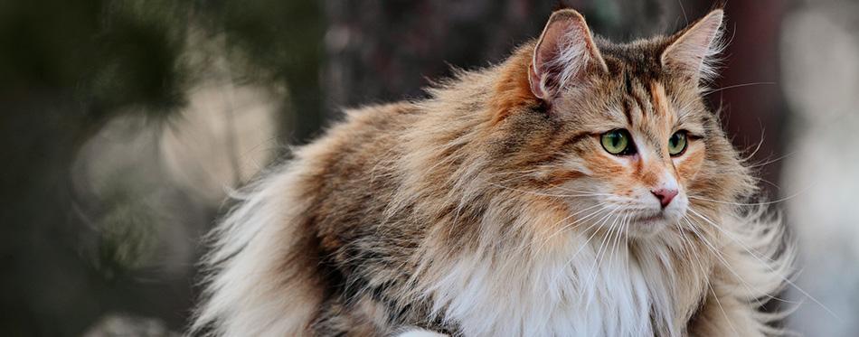 Norwegian forest cat female