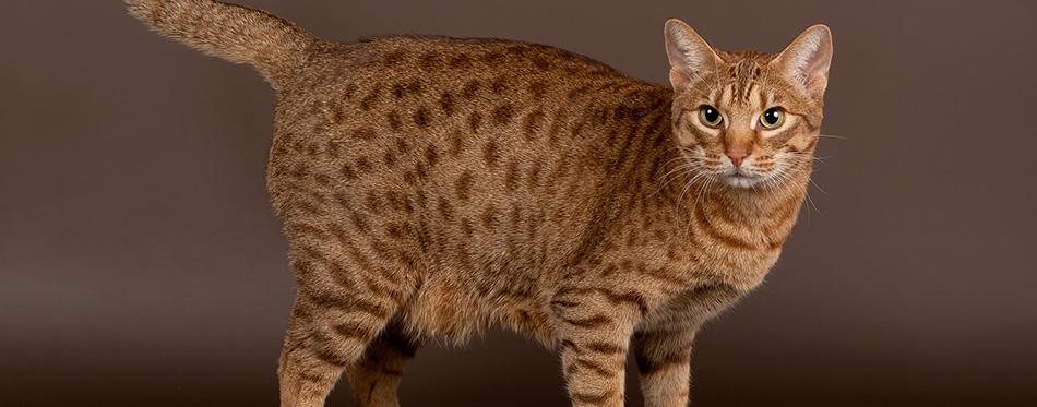 Ocicat male cat on dark brown background