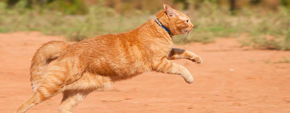 Orange tabby cat running across red sand in full speed
