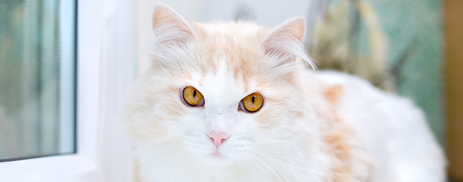 Portrait of a white turkish angora cat at home
