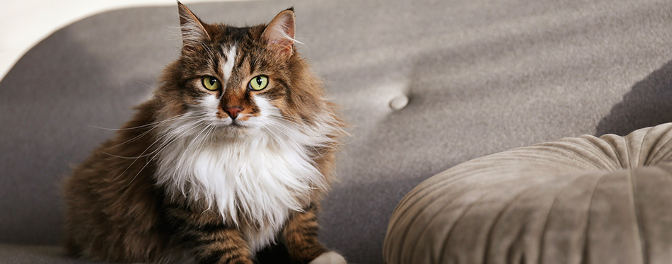 Portrait of beautiful and fluffy tri colored tabby cat at home
